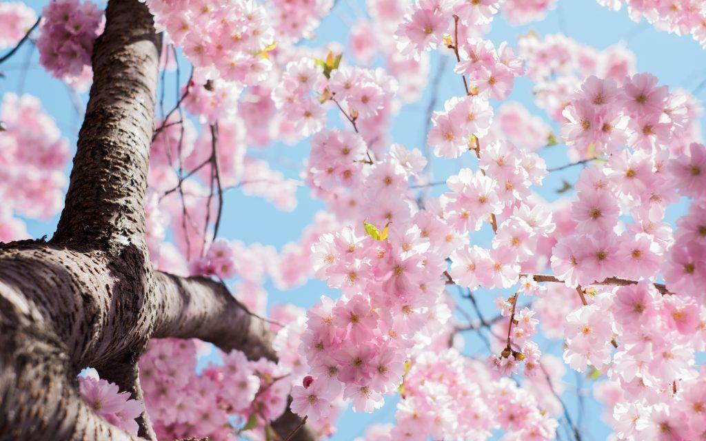 blomstetræ